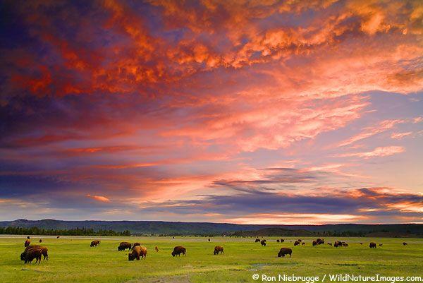 YELLOWSTONE NATIONAL PARK.   Buffalo at sunset, Midway Geyser Basin, Yellowstone National Park, Wyoming. Bos Bison