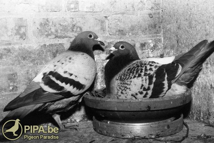 Totale verkoop Gebr. Janssen eindigt op 21.390 EURO gemiddeld per duif, een nieuw wereldrecord!
