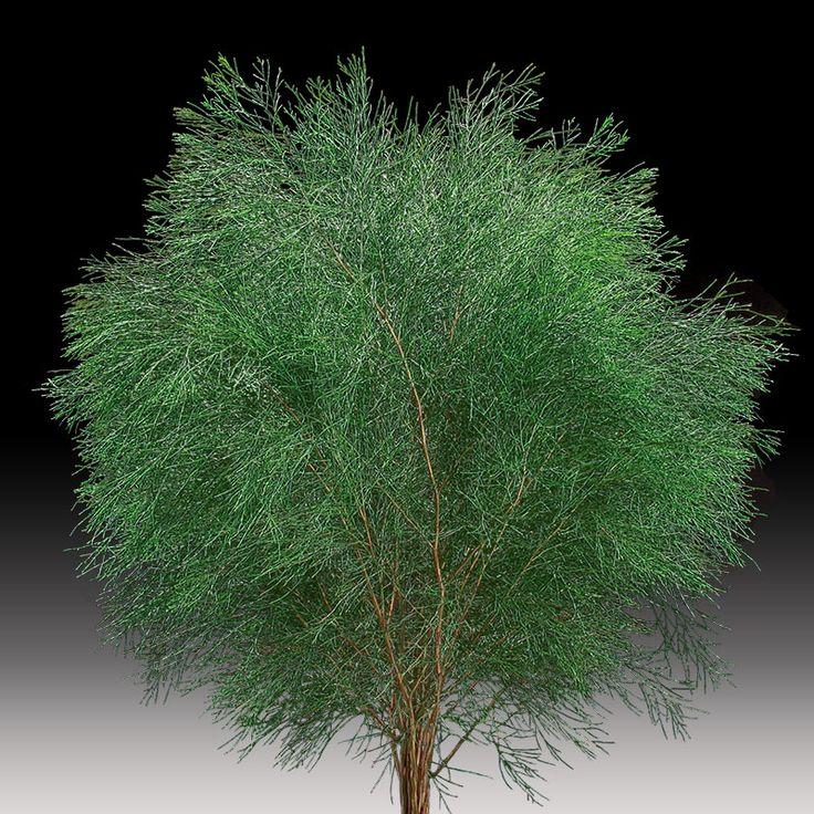 Bribie pine #premiumgreensaustralia