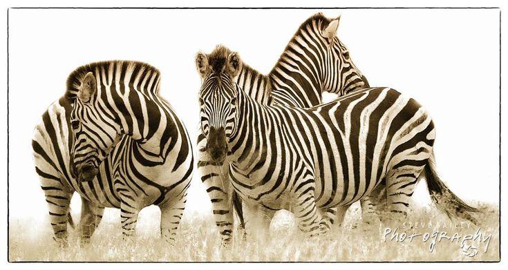 Zebra Lines by SteveBailey