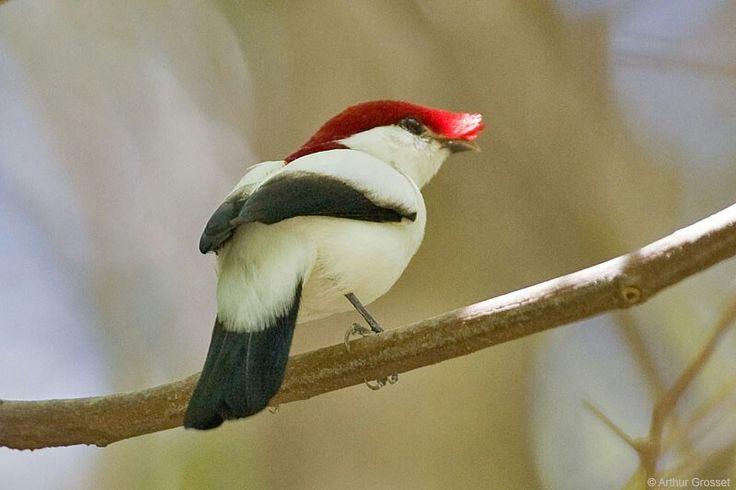 De Araripemanakin is een zangvogel uit de familie der manakins