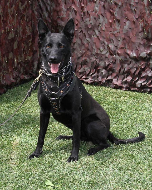 Black Belgian Malinois Dog