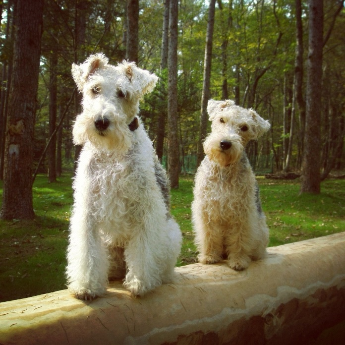 Wire and Lakeland terriers on the balance beam in the World Terrier Gymnastic Championships.