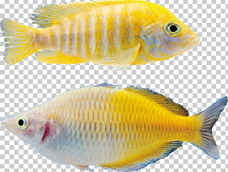 Pin By Imgbin On Fish Fish Png Colorful Fish