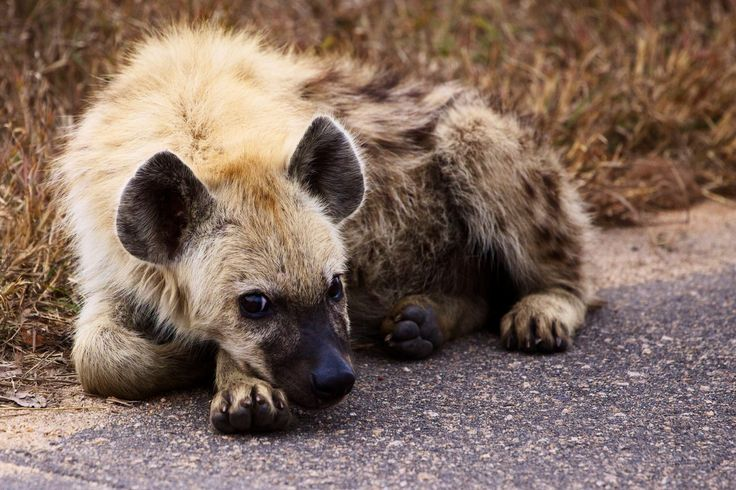 This is a baby hyena, not normally an animal known for its cuteness. But this little guy just makes your heart melt. We found him alone on the side of the road, driving back to our camp in the Kruger National Park. Either it was his time to leave his mother and fend for himself, or he had somehow lost his family. Whichever case it may have been, he looked so sad, with his head resting on his paw. It was very hard not to put him in the car with us and take him home.