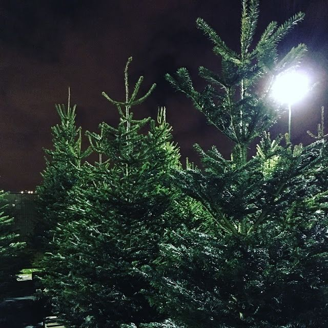 real christmas trees delivered and installed across uk by pines and needles - Real Christmas Trees Delivered