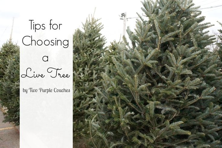 We'll need these soon! Tips for choosing a live Christmas Tree via www.twopurplecouches.com #christmas #christmastree #christmastime