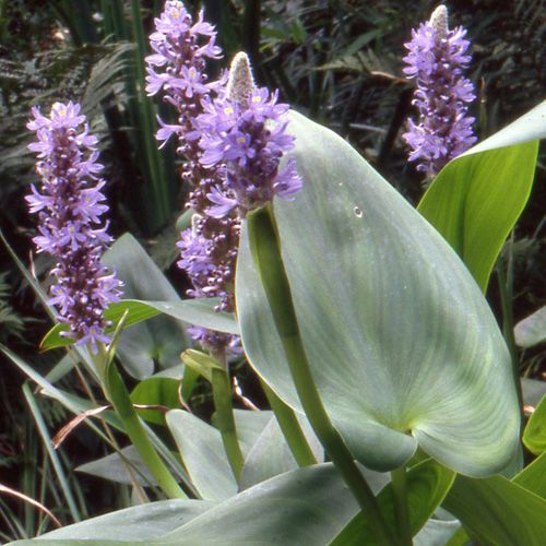 Pontederia cordata pont d rie plante aquatique mais for Plante 9 feuilles
