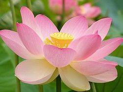 Lotus fleurs Fond d'écran
