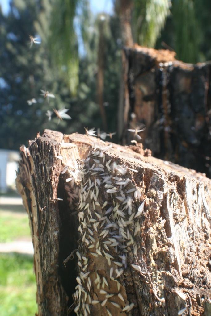 Termite Swarm http://www.arrowservices.com/ http://www.skylinepest.com/