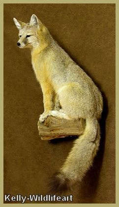 Kit Fox Taxidermy
