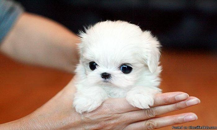 Micro Teacup Maltese Puppies | Poshfairytail's Tiny Teacup ...