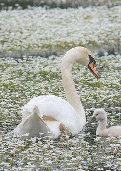 The TRUMPETER SWAN is a species of swan found in North America. The heaviest living bird native to North America, it is also the largest living species of waterfowl with a wingspan that may exceed 10 ft. Adults usually measure 4 1/2 - 5 1/2 feet long. Around 85% of the world's breeding population is found in Alaska
