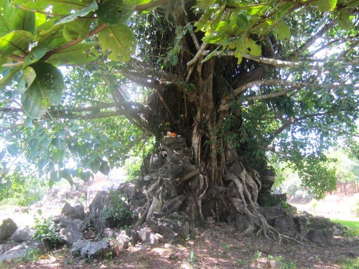 Buddha Tree, Vietnam