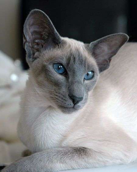 Blue point Siamese - for when you are happy to let something else be the Boss