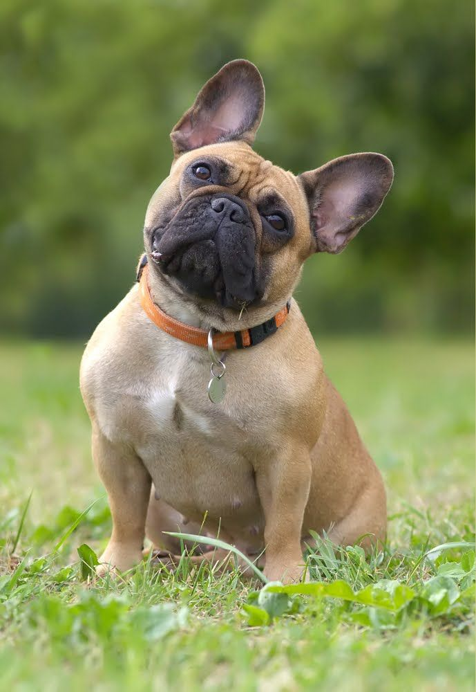 "French Bulldog—muscular with a heavy bone structure, smooth coat, short face and trademark ""bat"" ears, the French Bulldog originated in England and was created to be a toy-size version of the Bulldog."