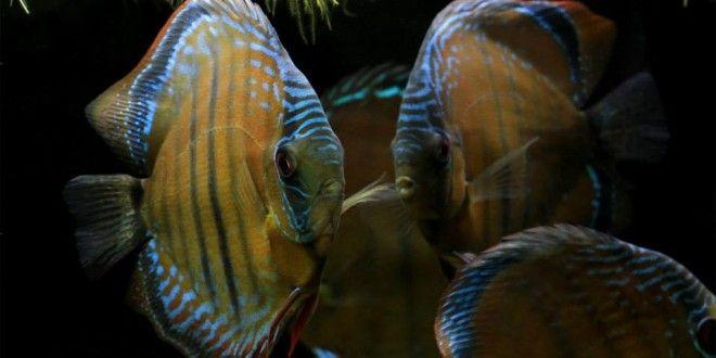 Brasil permitirá a criação de quase 2 mil espécies de peixes ornamentais   AquaA3 - Aquarismo Alagoano