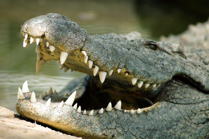 La mordedura del cocodrilo es la más poderosa del mundo
