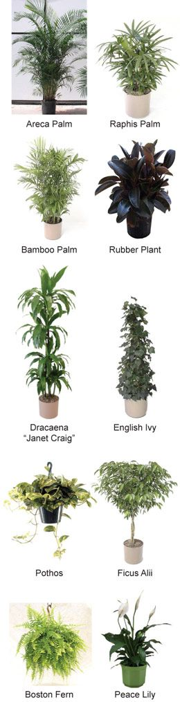 Selection is based on ease of growth and maintenance, resistance to pests, efficiency at removing chemical vapors, and transpiration rates. Areca Palm Also known as yellow palm or butterfly palm, t...