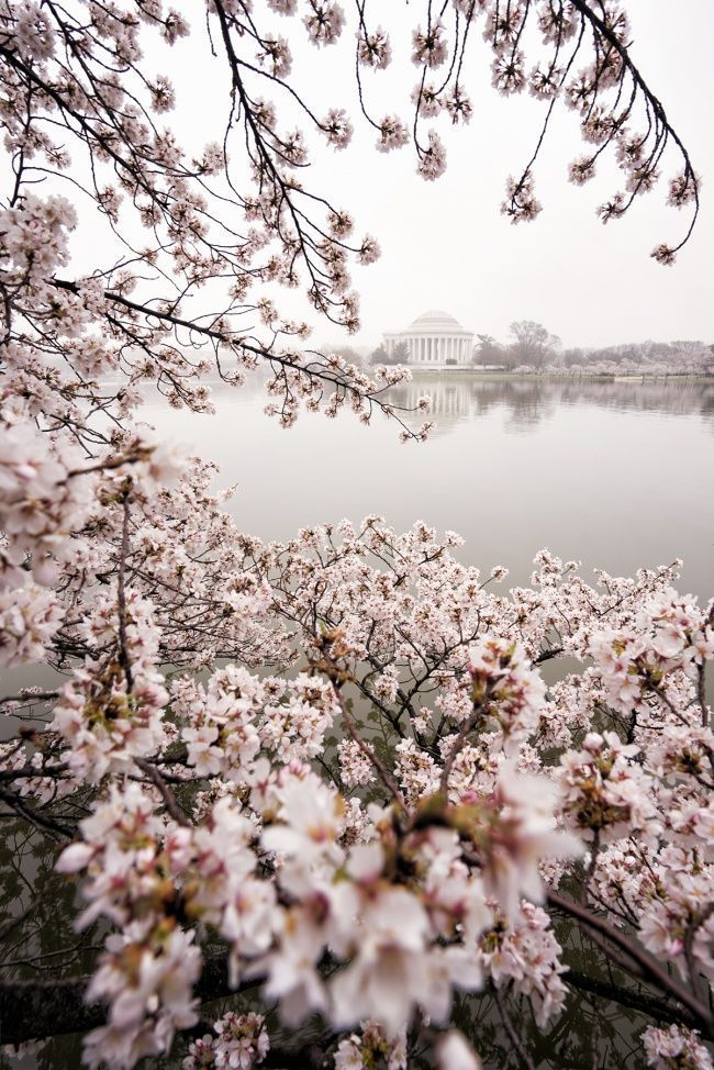 washington dc, cherry blossom, cherry blossom festival, sunrise, fog, early morning, pink, white, trees, tidal basin, jefferson memorial, predictions, spring, winter, flowers, live preview, camera settings, composition,