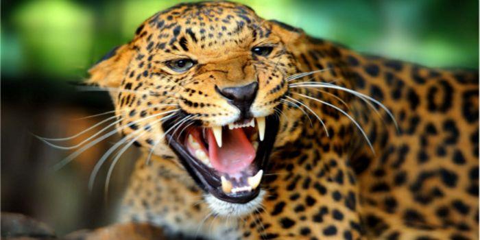 Leopardo o Gato Gigante | Leopardos vs Cães Selvagens - http://www.planetaselvagem.com/leopardo-o-gato-gigante-leopardos-vs-caes-selvagens/