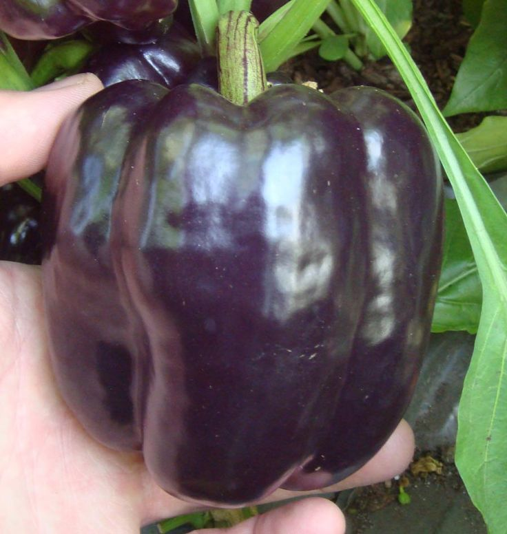 Plant Purple Beauty Pepper Seeds to harvest big, purple, bell peppers. Learn when to plant pepper seeds from our How to Grow Peppers instructions.