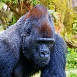 Humans And Gorillas Have This Complaint In Common -- Any Guesses?