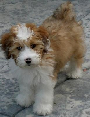 Mini Aussiedoodle Met One Of These Little Guys Yesterday So