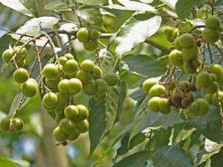 Soap Nuts: Natural Detergents