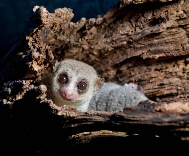 fat tailed dwarf lemurs reside in sleeping holes found in madagascar