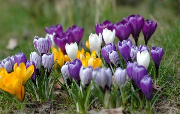 Blumen Garten-anlegen Pflanzen-Krokusse Arten-Farben