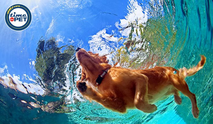 Did you know To please your Labrador, you should train him to swim. Labs are great swimmers. #timeforpet #dogs #petlove
