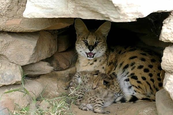 Serval Kittens with their Mother #Sight2SeeInTheKaroo  Pred-A-Tours Cat Conservation Project near Cradock offer great opportunity to see Serval & other wildcats