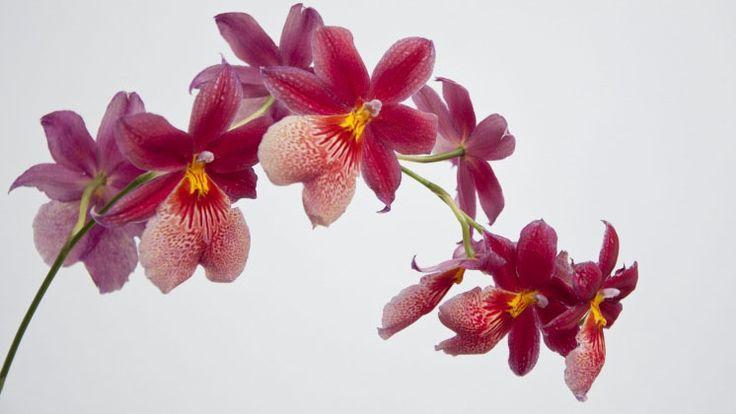Släng inte dina överblommade orkidéer – det går att få dem att komma igång igen. Här är några tips!