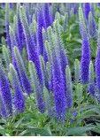 De Veronica spicata Ulster Blue Dwarf is een vaste plant die vanaf juli tot oktober prachtige paars blauwe bloemen geeft. Hij wordt niet hoger dan 50 cm.