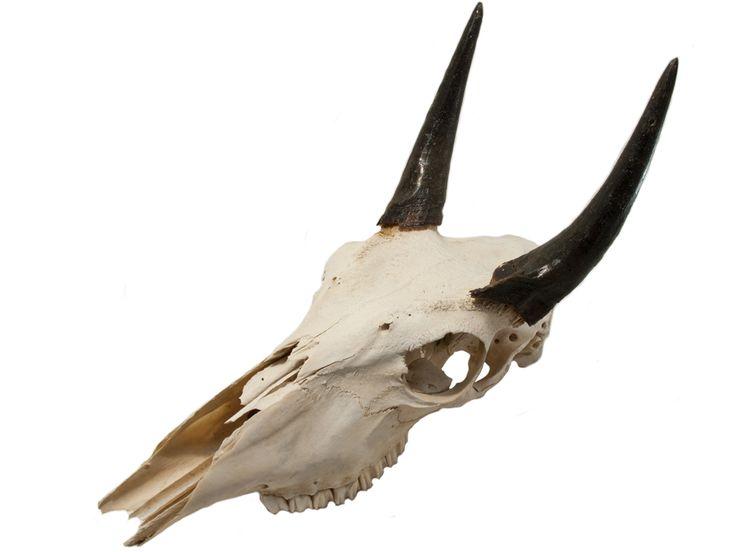 Nilgai skull 3 4 horns reference pinterest animal - Housse de coussin 65 65 ...