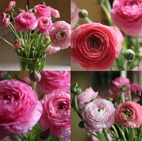 Ranunculus are great for greenhousing.  Makes GREAT cut flowers. Ideal conditions are typically 35-50 F degrees at night, with daytime highs in the 60-75F range