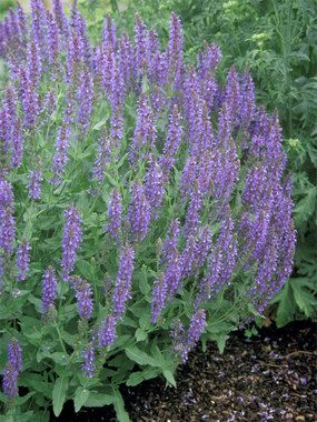 Salvia Blue Hill. Great rebloom. True blue flowers. Use as a substitute for Nepeta Blue Wonder.