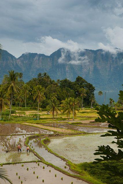 Basin Rice Paddies, Lake Maninjau, Sumatra, Indonesia