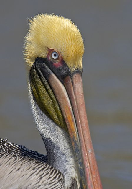 brown pelican.  most amazing when they fly next to your car as you drive over one of the long bridges here