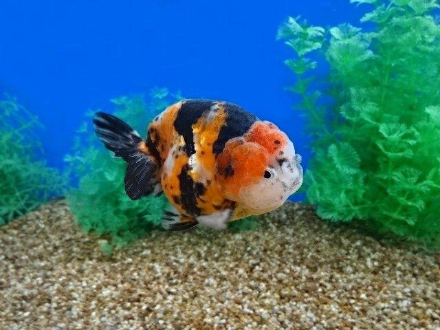444 best oranda goldfish images on pinterest oranda for Tiger striped fish