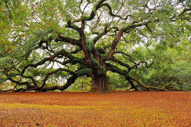 The Angel Oak is  in Charleston, South Carolina on Johns Island, . It is estimated to be over 1400 years old,