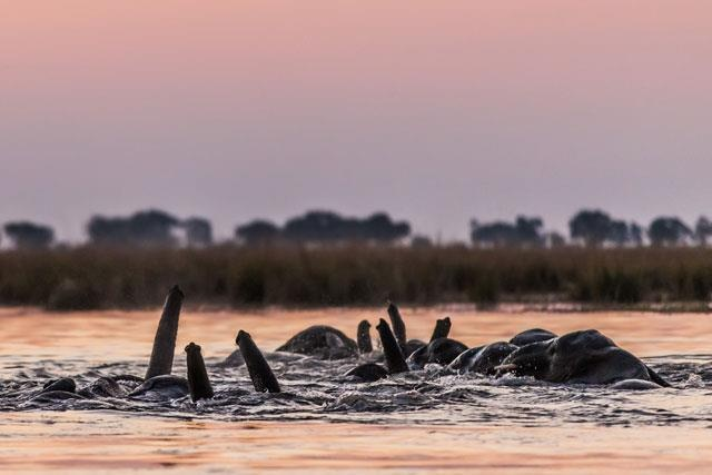 Chobe, Botswana has the largest remaining elephant population on the planet... Go here to see more stunning pics of this awesome wildlife destination: http://blog.africageographic.com/safari-blog/bush/elephant-crossing-at-chobe/