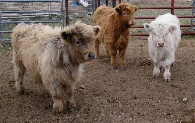 Mini cows! Scottish highland ones are so hairy, they're extra cute!