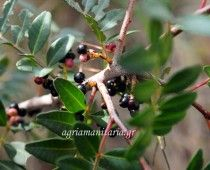 Σχίνος Pistacia lentiscus