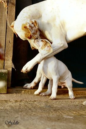 Orange and white English Pointer and puppy <3