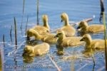 Picture: Visitors to the Marsh Boardwalk in Point Pelee National Park in Leamington, Ontario in the spring can often see cute, fluffy Canadian Geese goslings scouring the surface of Lake Erie.