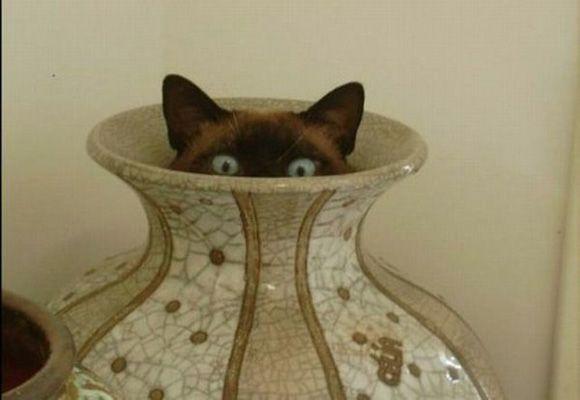 Siamese cat hiding in a vase