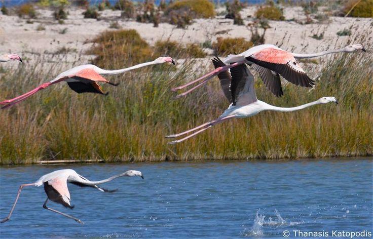 Flamingos εν πτήσει στη λιμνοθάλασσα. 27/09/2016.