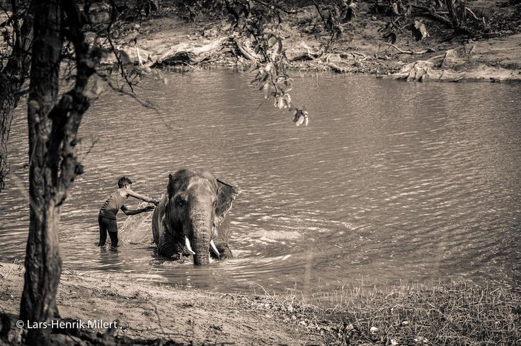 Friendship as seen in the jungle The Mahout is caring for his elephant. Bandhavgarh NP India Canon EOS 5 DSr 175mm 1/750 f/56 iso 1600